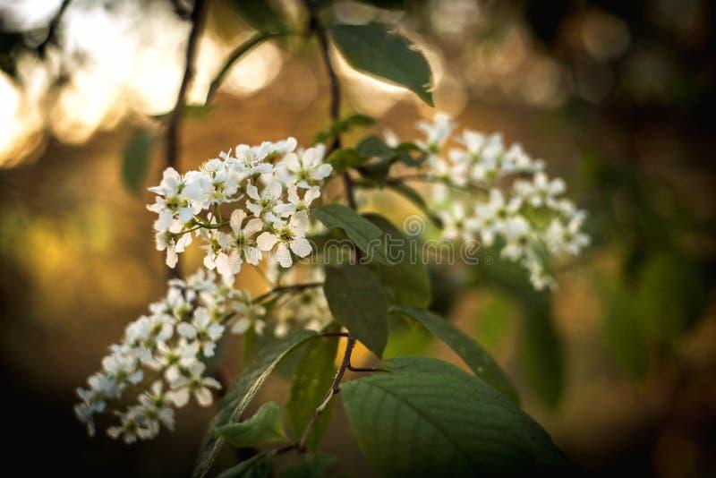 Uccello-ciliegia sbocciante Ciliegio dell'uccello dei fiori bello ramo di fioritura di birdcherry il giorno di molla soleggiato i immagini stock