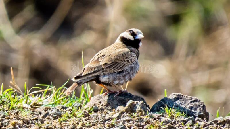 uccello Cinereo-incoronato dell'passero-allodola, fine sull'fotografia-India immagini stock