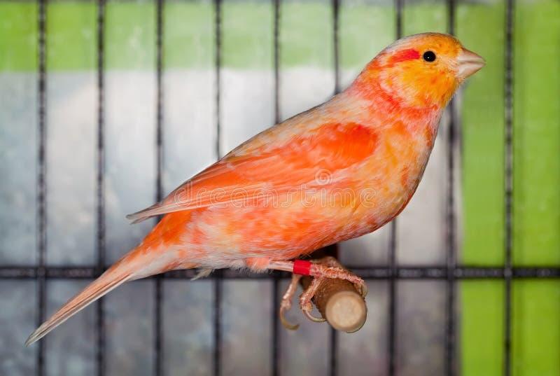 Uccello color giallo canarino fotografia stock libera da diritti