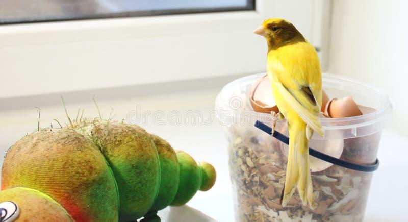 Uccello color giallo canarino immagine stock libera da diritti