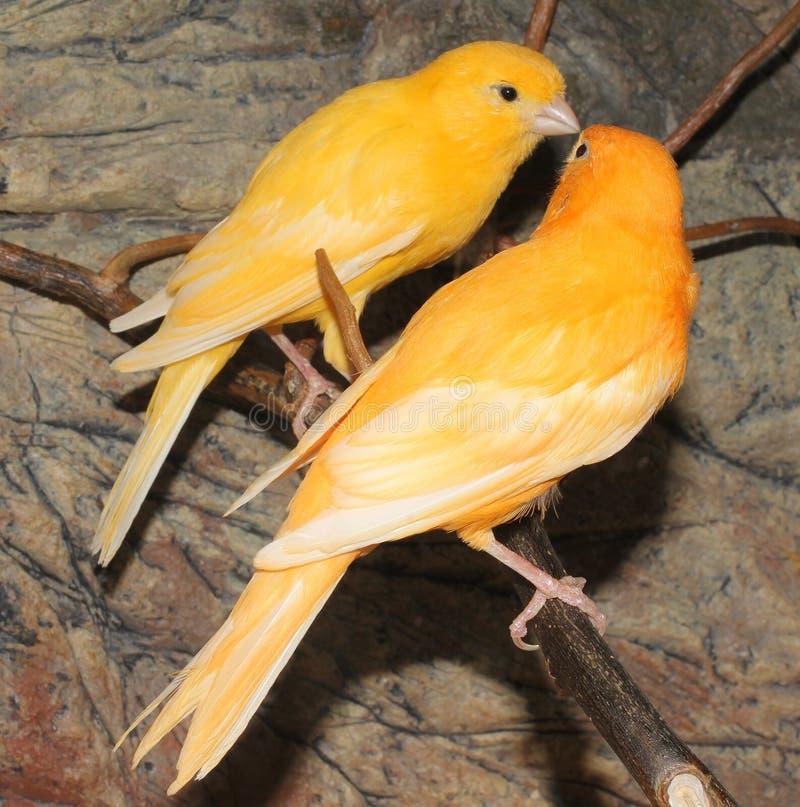 Uccello color giallo canarino dell'isola fotografie stock