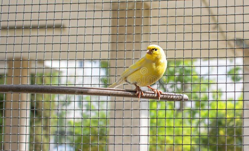 Uccello color giallo canarino dentro una gabbia dei fili di acciaio appollaiati su un bastone di legno fotografia stock