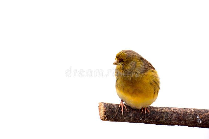 Uccello color giallo canarino giallo immagine stock