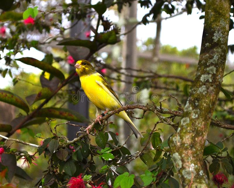 Uccello color giallo canarino giallo appollaiato sul ramo fotografie stock
