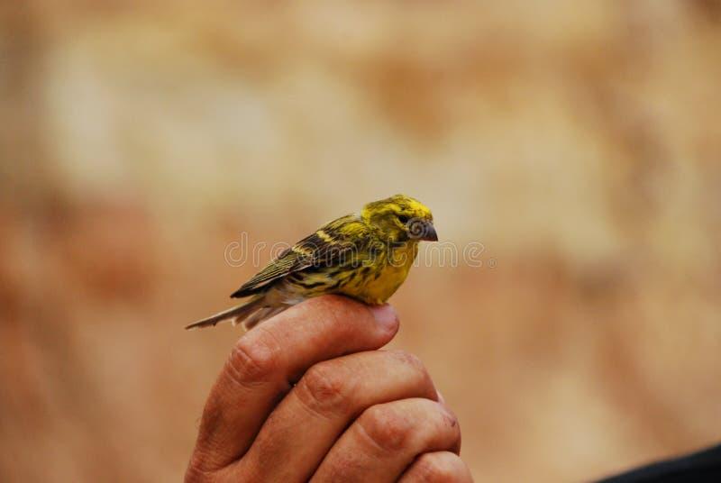 Uccello color giallo canarino selvaggio fotografia stock