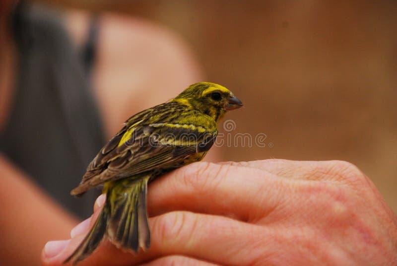 Uccello color giallo canarino selvaggio immagine stock