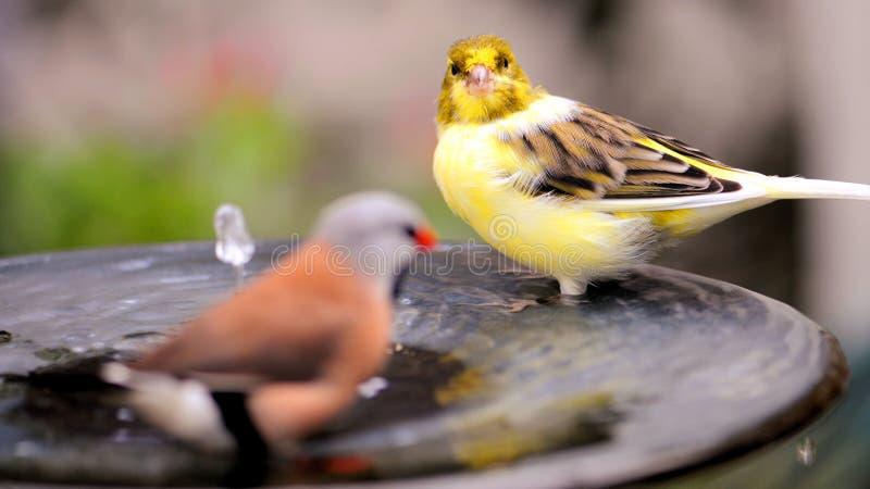 Uccello color giallo canarino in vaschetta per i uccelli fotografia stock