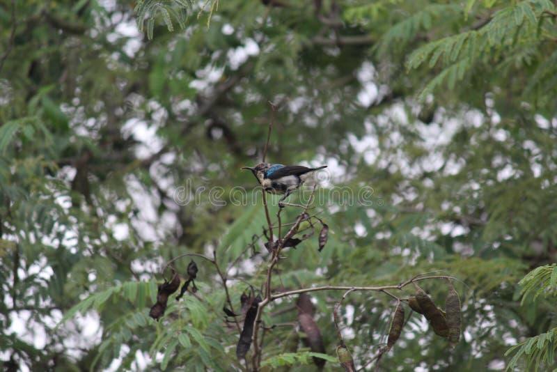 Uccello colorato, con le ali blu, goccia di acqua al naso fotografia stock libera da diritti