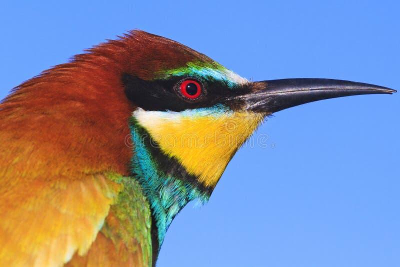 Uccello colorato esotico con un becco lungo immagine stock libera da diritti