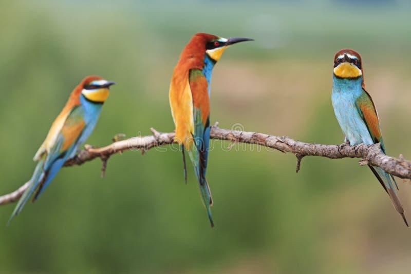Uccello colorato tre che si siede su un ramo fotografia stock libera da diritti