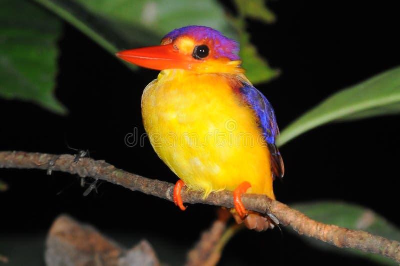 Uccello Colourful fotografia stock libera da diritti