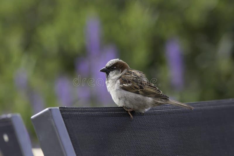 Uccello comune del giardino appollaiato sulla sedia Passero maschio fotografia stock libera da diritti