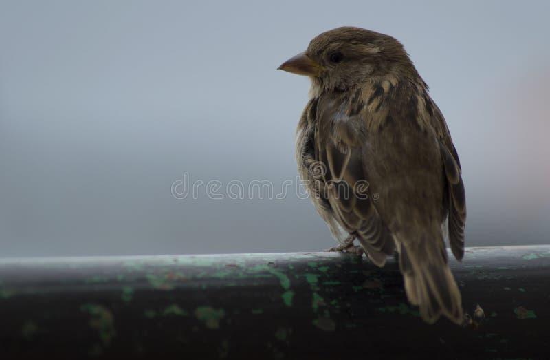 Uccello comune sveglio che posa nell'orizzonte fotografia stock libera da diritti