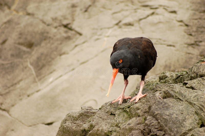 Uccello con il becco lungo immagine stock