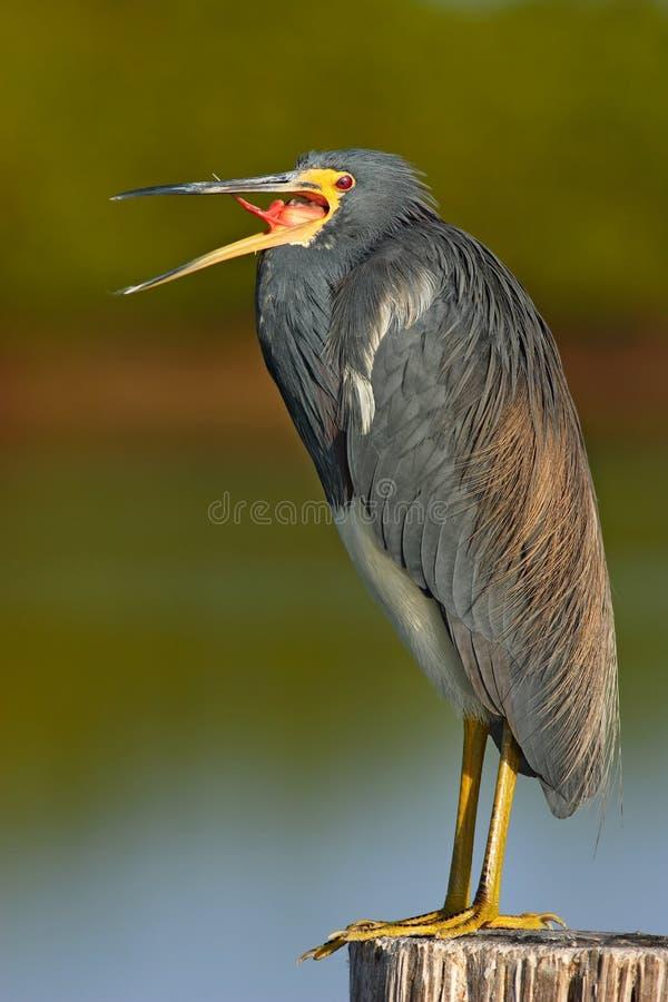 Uccello con la fattura aperta Uccello acquatico che si siede sul ceppo di albero Spiaggia in Florida, U.S.A. Airone di Tricolored fotografia stock