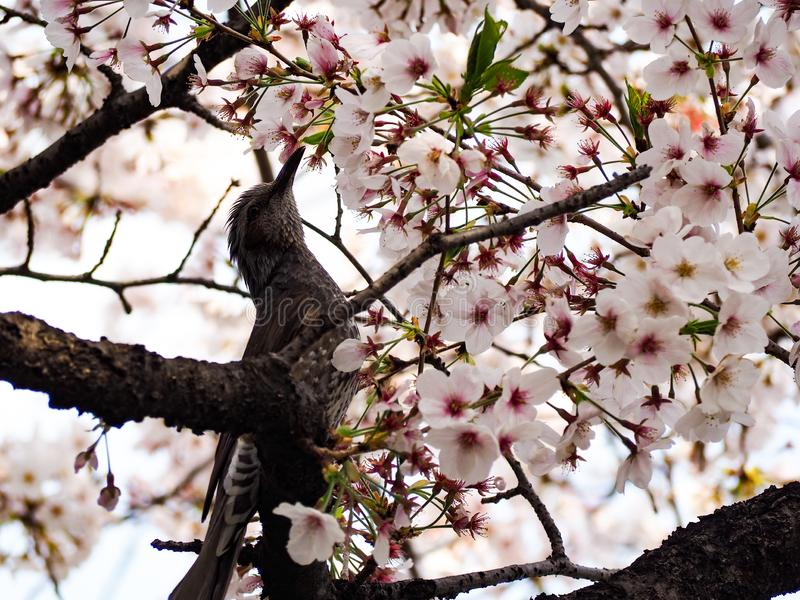 Uccello con Sakura Piccolo uccello in primavera con il fiore sakura della ciliegia del fiore fotografie stock