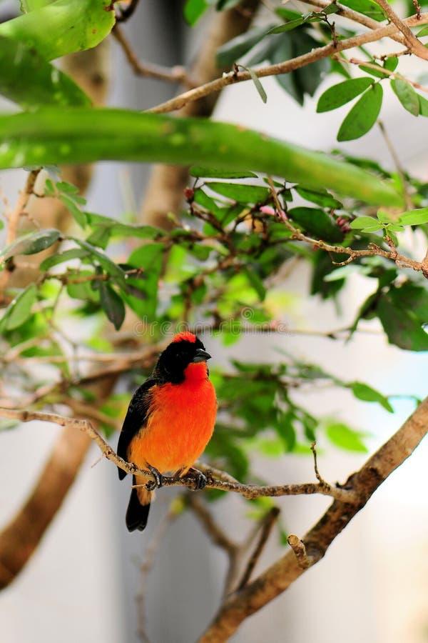 Uccello Cremisi-breasted del fringillide fotografie stock libere da diritti