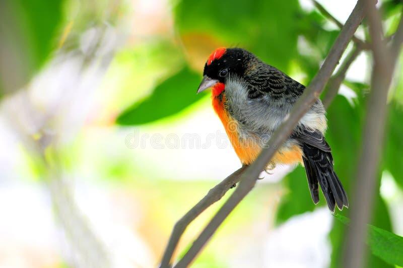 Uccello cremisi-breasted del fringillide immagini stock