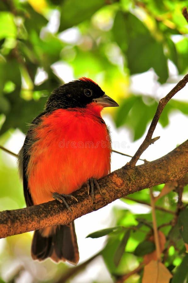 Uccello cremisi-breasted del fringillide sul ramo di albero fotografia stock