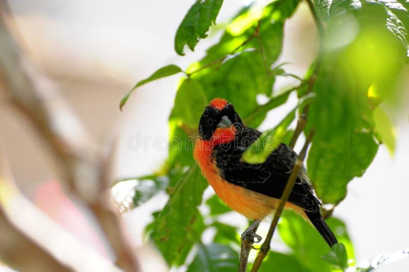 Uccello cremisi del Fringillide-tanager fotografie stock libere da diritti