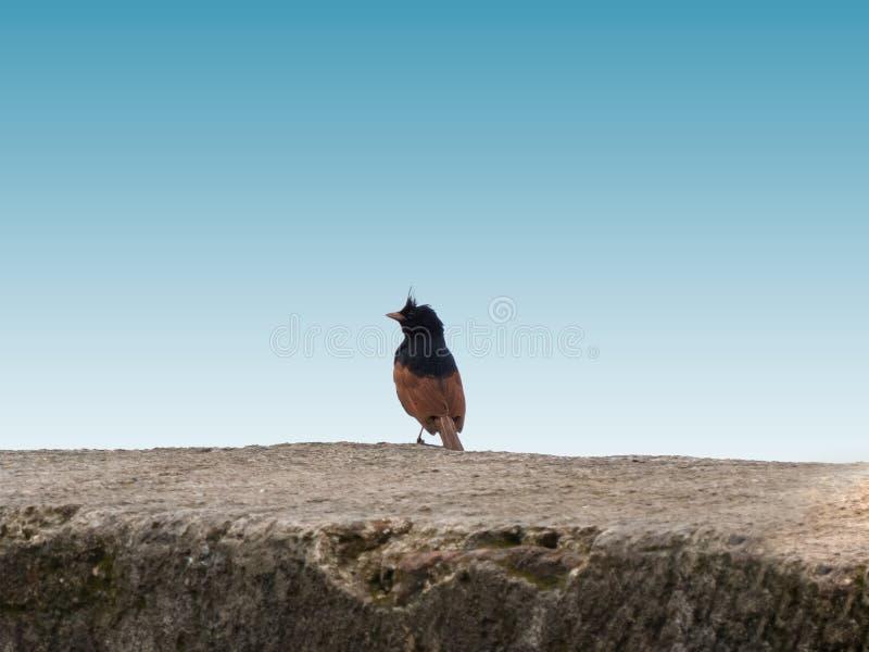 Uccello crestato della stamina sul portone di Jaam vicino a Indore fotografia stock libera da diritti