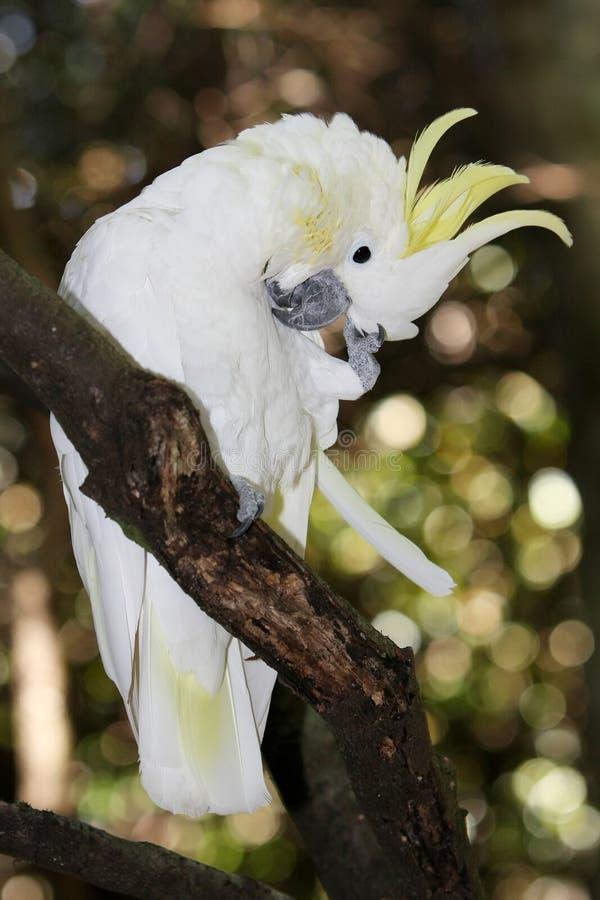 Uccello crestato di Cookatoo fotografia stock libera da diritti