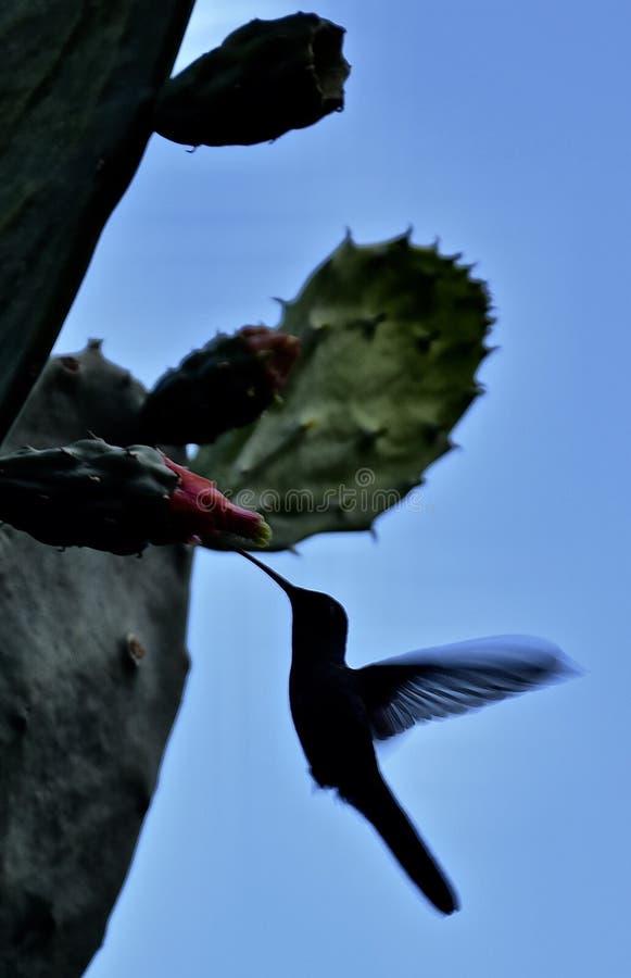 Uccello cubano di ronzio immagini stock