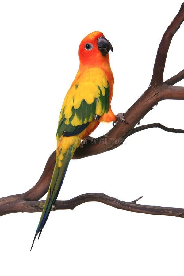 Uccello curioso di Sun Conure immagine stock