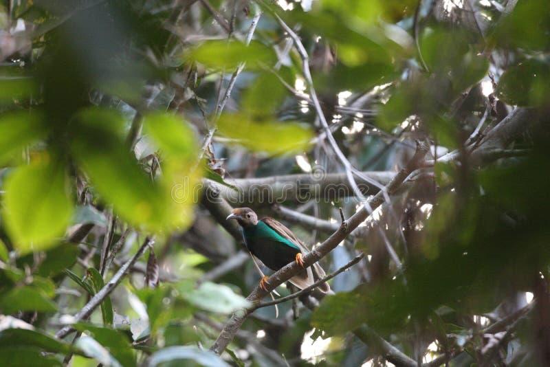 Uccello-de-paradiso di Standardwing fotografia stock