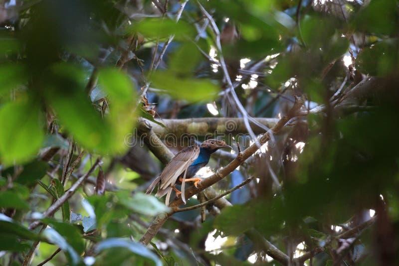 Uccello-de-paradiso di Standardwing fotografia stock libera da diritti