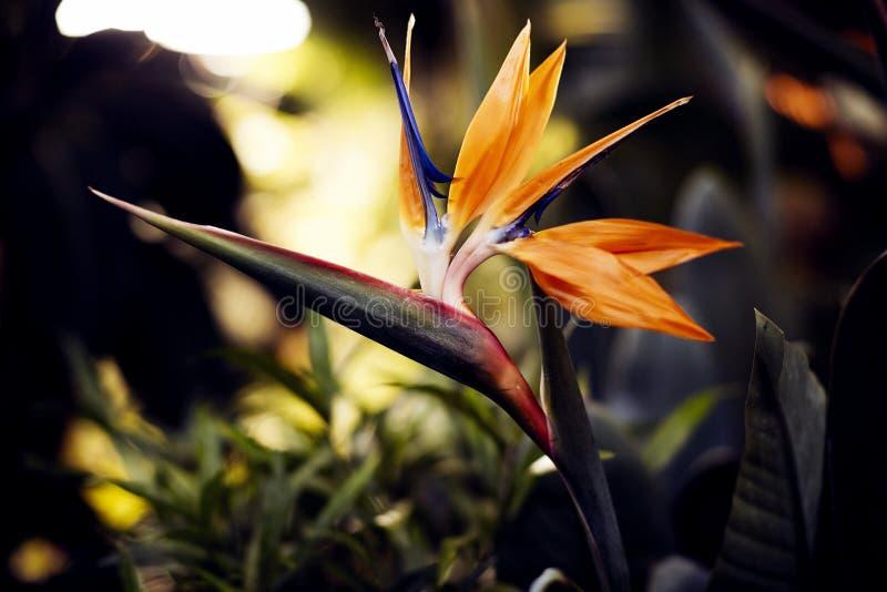 Uccello dei fiori di paradiso, del primo piano tropicale del fiore in un giardino botanico o della natura immagine stock