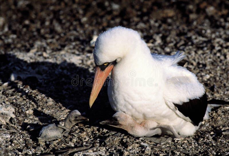 Uccello del Booby con i sui bambini fotografia stock