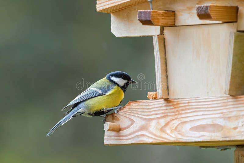 Uccello del capezzolo del carbone nel grey giallo con la nuca bianca nera che si appollaia su w fotografie stock libere da diritti