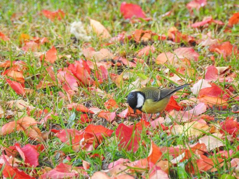 Uccello del capezzolo sullo sviluppato su con le foglie variopinte, Lituania fotografia stock libera da diritti