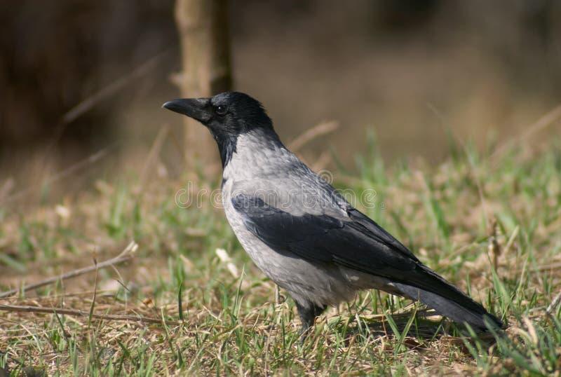 Uccello del corvo immagine stock libera da diritti