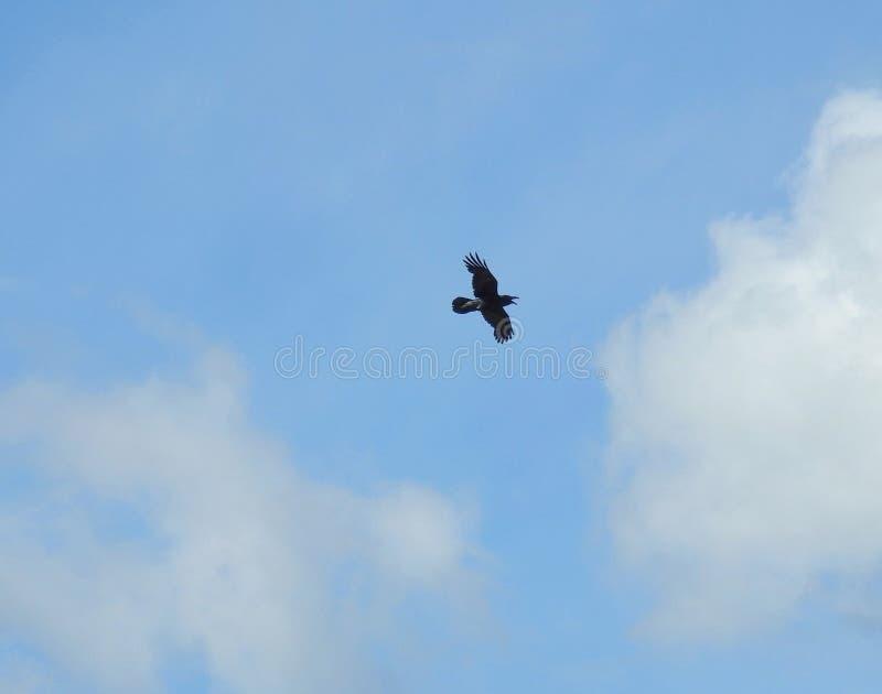 Uccello del corvo di volo fotografia stock libera da diritti