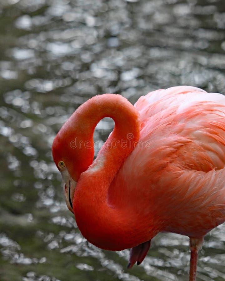 Uccello del fenicottero di rosa di Florida in acqua fotografia stock libera da diritti