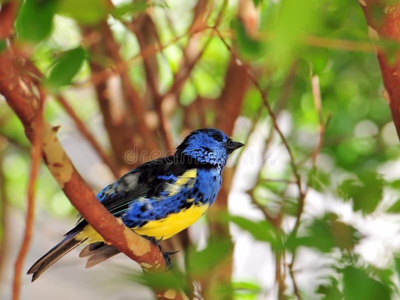 Uccello del fringillide fotografia stock libera da diritti