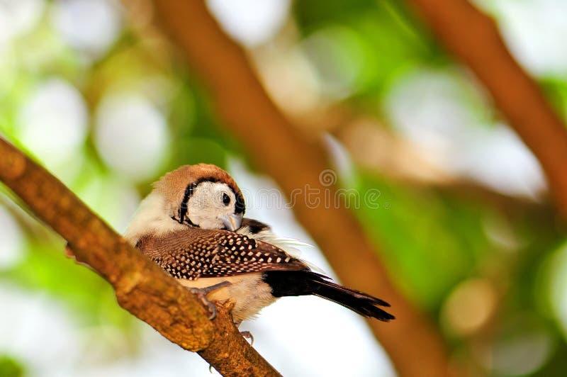 Uccello del fringillide di Bichenos sul ramo di albero, Florida fotografie stock libere da diritti