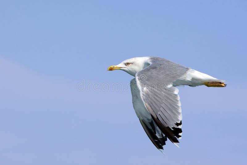 Uccello del gabbiano in mosca immagine stock libera da diritti