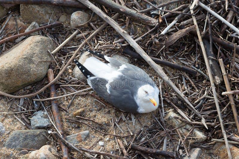Uccello del gabbiano tridattilo del rissa del gabbiano nel suo nido vicino alla riva dell'oceano del mare immagini stock libere da diritti