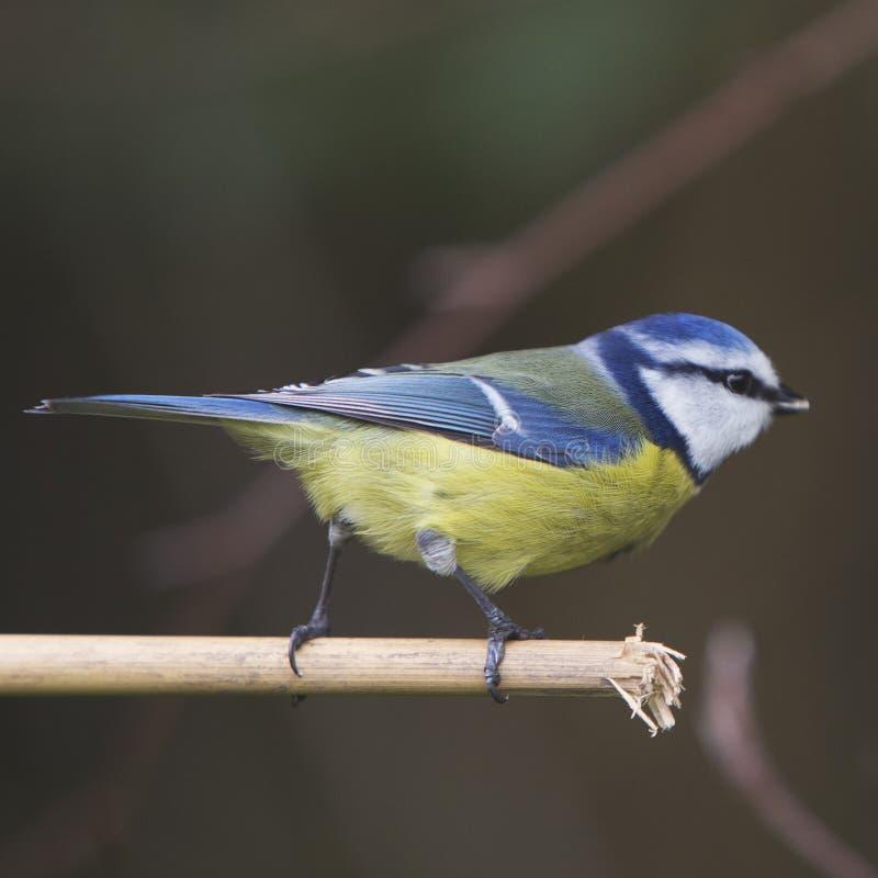 Uccello del giardino della cinciarella appollaiato sul germoglio di bambù fotografia stock libera da diritti