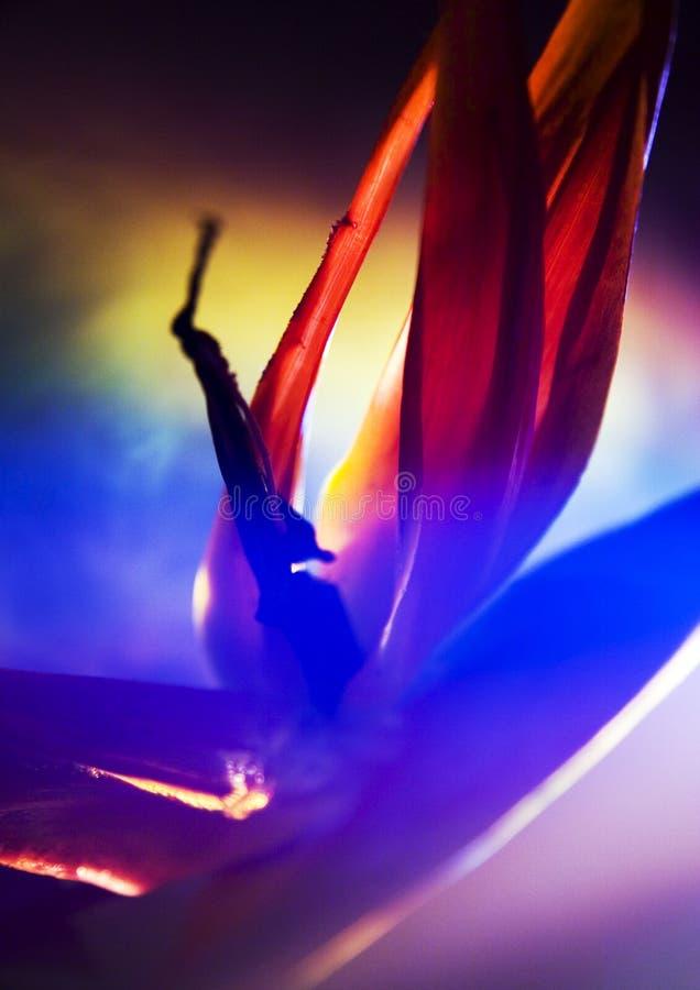 Uccello del giglio di paradiso fotografie stock