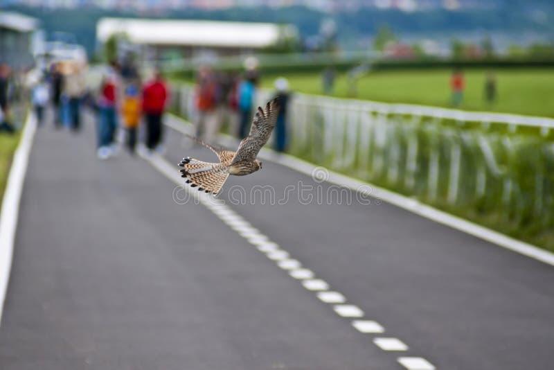Uccello del Kestrel fotografia stock