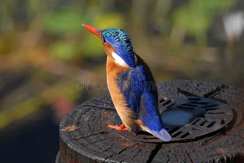 Uccello del martin pescatore della malachite immagine stock libera da diritti