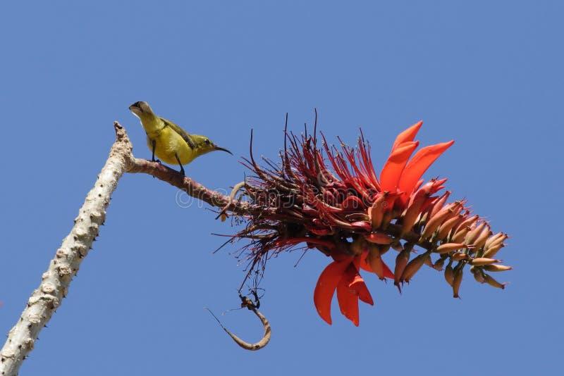 Uccello del miele con un fiore rosso immagine stock