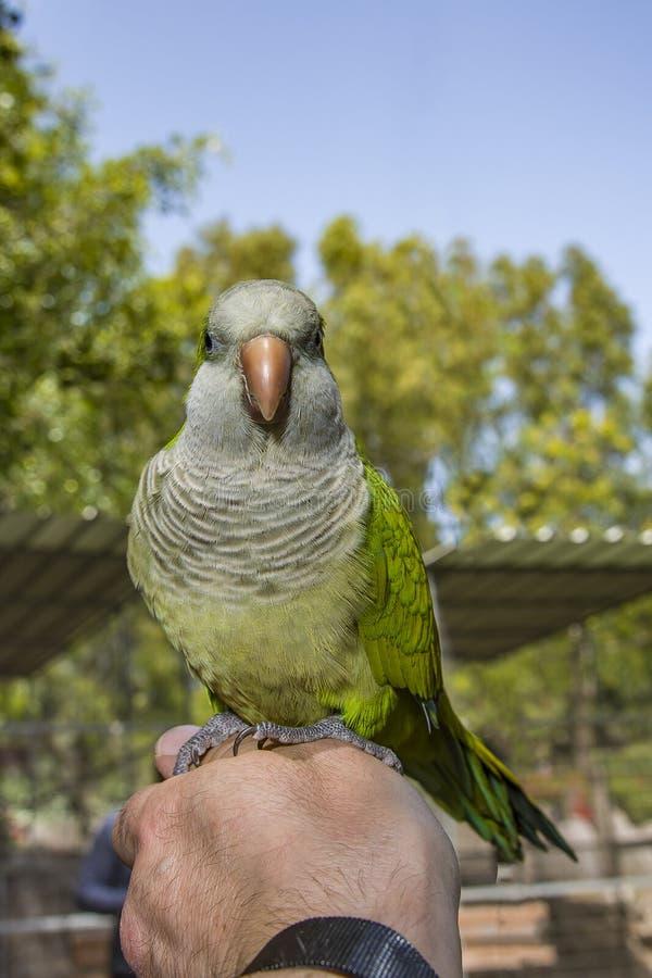 Uccello del pappagallo di verde di Olsen mangiare nocciola a disposizione, pappagallo farinoso di verde del pappagallo di Amazon  fotografia stock