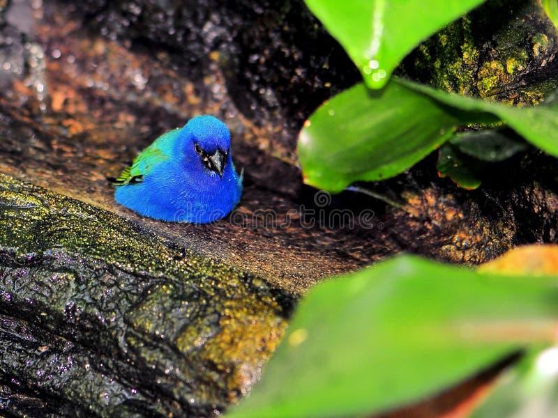 Uccello del Pappagallo-fringillide di Tricolored fotografia stock libera da diritti