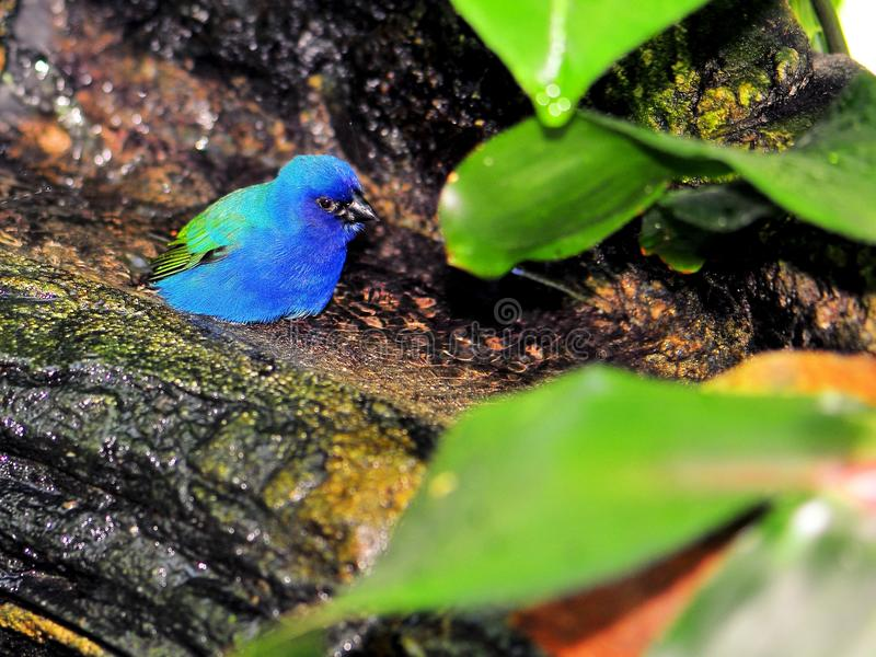 Uccello del Pappagallo-fringillide di Tricolored nell'uccelliera di Florida fotografia stock