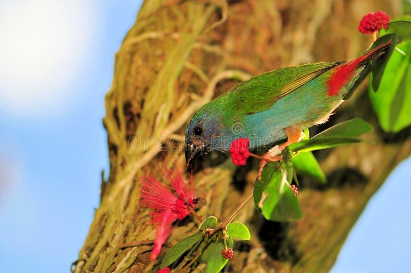 Uccello del Pappagallo-fringillide di Tricolored, Timor, Indonesia fotografia stock